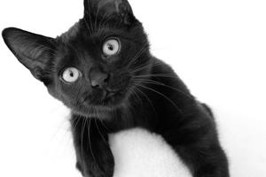 122) Detta är Sid. En katt med stor personlighet. På bilden är han 4 månader gammal. Bilden är tagen när han lekte i sitt klösträd. Foto: Catarina Wimark