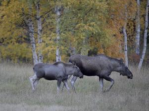 Det jaktbara viltet är en matreserv som är fri från antibiotika.