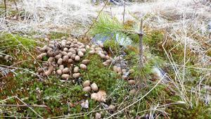 Tallplanta som skadats av älg. Foto: Skogsstyrelsen.