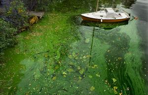 Övergödningen av vattendrag och den följande algblomningen är kända problem. /FOTO: Claudio Bresciani / TT