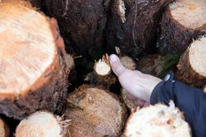 Ett annat exempel på att avverkningarna inte är etiska, menar Peter Noresson, att även de allra minsta träden huggs ner.