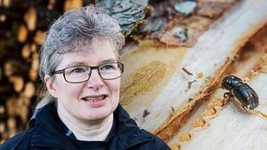 Anna Marntell, skogsstyrelsen Sundsvall, tror inte man kan dra några slutsatser angående granbarkborrarna. Bild: Therese Hasselryd/Evelina Ytterbom.