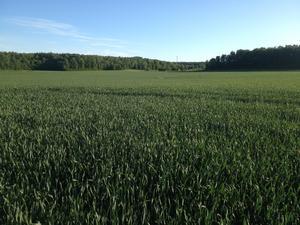 Ett grönskande höstvetefält. /FOTO: Privat