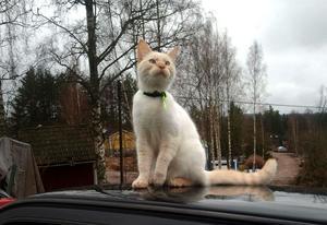 Det här är Jönsson, som i går kväll kunde hämtas i Sörskog, där han sökt hjälp hos en familj som såg att han var öronmärkt och kontaktade familjen.
