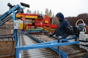 Hemma på gården i Snöborg sker den första sorteringen av årets skörd innan den ställs in för vinterförvaring.