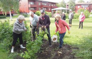 Byalagets innergård med potatisupptagarna Eivy Hammar, Owe Hallin, Bertil Andersson och Gunnel Falkerby. Foto: Sven-Olof Andersson