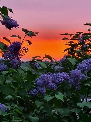 Magisk sommarkväll i Hassela.Otroligt fint på himlen och en gudomlig doft av Syrén. Bild: Marlene Vesterlund