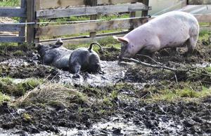 Vi släppte våra grisar på sommarhagen igår, vilket var väldigt uppskattat. Speciellt vårens första dopp. Platsen är Källängens Gård i Hensvik/Herräng. Foto: Yvonne Andersson