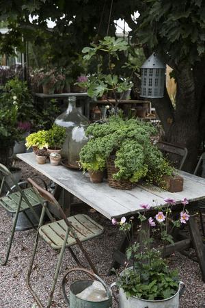 Grönkålen i korgen på bordet är både dekorativ, ätbar och frosttålig.