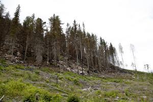 Brandfronten nådde nästan ner till kraftledningsgatan. Många av träden som står kvar är tallar. Arten är anpassad för att överleva skogsbränder med stora delar av sitt livsviktiga klorofyll högt upp i kronan. En tjock bark ökar också värmetåligheten.