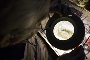 Göran Ehrfeldt har hittat den ovanliga svarthuvade snigeln som är en invasiv art. De första fynd