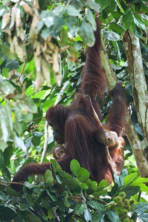 Näsapor i regnskogen längs med Kinabatangan.  Foto: Jens Söderlund