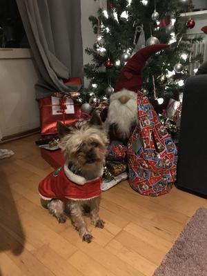 Om bilden: Ceasar är en yorkshireterrier som är 5 år . Han är den snällaste och mysigaste hund som finns ♥️Gillar t.o.m. att vara tomte. Foto: Susanne