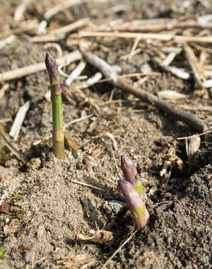 Sparris hemma i trädgården är inte omöjligt men kräver tålamod. Först efter fyra år kan du skörda och då kan du skörda de späda skotten fram till midsommar. Sedan måste plantan vila och få chansen att låta skotten växa.