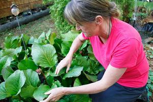 Bergenian, som slår ut nu, är också en gammal välkänd – och av många mycket älskad – trädgårdsväxt.