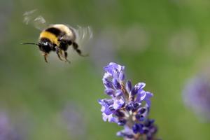 En humla vid en lavendelblomma. De hotade insekterna är viktiga för den  biologiska mångfalden. 06033c73a2d94