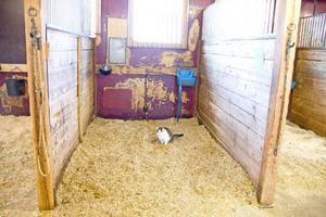 Katten Trulsa är minst lika hemmastadd i stallet som hästarna.