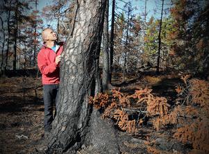 John Granbo konstaterar att den gamla tallen klarat branden bra. Till skillnad från granarna omkring.