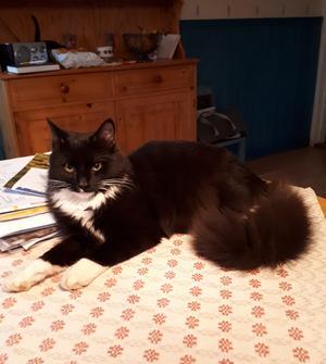 466) Efter att ha varit utan katt i drygt ett år flyttade så lilla Max hem till oss i sommras. Nu är han 7 månader och har vuxit upp till en busig, vacker glädjespridare. Foto: Anna Karin Persson