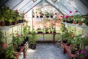 Ett växthus fyllt med pelargoner till försäljning. Men även andra växter fanns till salu.