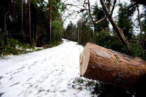 Ännu har man inte haft tid och möjlighet att transportera bort de många träd som föll över spåren. De ligger nu kapade i fyra- och femmeterslängder bredvid skidspåren.