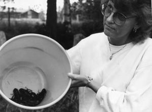 Ort: Ljusdal   Rubrik: Rusning till Sillerboån. Många kräftor och stor trivsel trots trängsel och lite vatten.   Bildtext: Så här ser dom ut! Lena Rapp och hennes familj hade en lyckad kräftfiskestart vid Sillerboån.