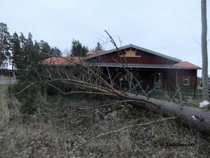 Det nya dagiset på Sollerön klarade sig med nöd och näppe från tallen som for omkull efter stormen Dagmars framfart häromdagen.