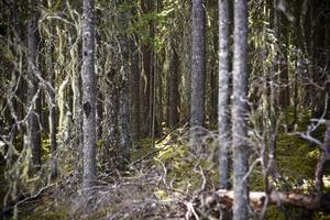Gammelskog i den ursprungliga nationalparken.