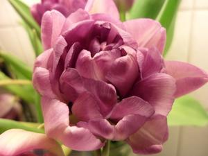 Det finns en massa olika sorters tulpaner-härliga blommor!!!