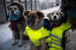 De tre hundarna är ordentligt påpälsade. Det behövs i den svenska decemberkylan.