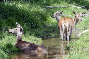 Hjortarna ska kunna leva ett naturligt liv i hägnet. Sölgropar är viktiga när det blir för varmt och för att hålla myggor och knott borta.