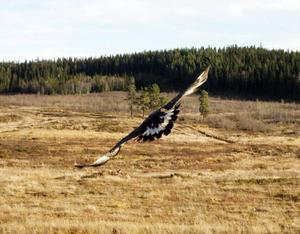 Första vingtagen i den återvunna friheten. Första turen blev kort. Efter cirka 100 meter landade örnen i en tall.