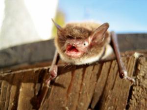 När dörren till källaren öppnades i lördags satt fem stycken fladdermöss på dörren! En blev kvar! Brorsan ropade och jag var snabbt framme med kameran!