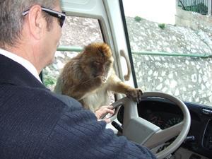 I Spanien, Gibraltar, finns de enda vilda aporna i Europa. På bussresan upp till berget hoppade en apa genom det öppna fönstret och började styra tillsammans med föraren för resenärernas förtjusning.