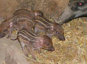 Fyra små Visayagrisar har fötts på Parkens Zoo. För tillfället har de inte några namn.