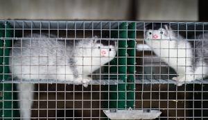 Vi hoppas att politikerna nu förstår detta och agerar - så att vi kan glädjas åt att vår djurskyddslag är mer än tomma ord. Det skriver Camilla Bergvall, ansvarig för pälsfrågor på Djurens Rätt.