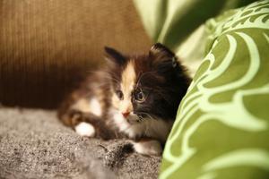 Saffran är en pigg och nyfiken kattunge som gärna går på upptäcktsfärd.