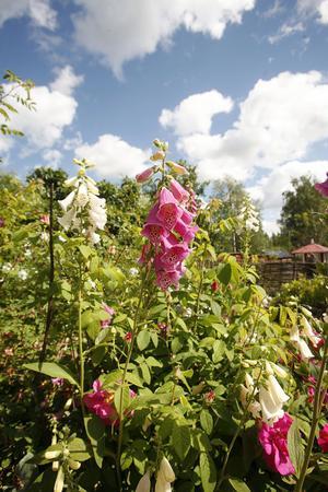 Fingerborgsblomman växer på många ställen i trädgården, i flera olika färger.