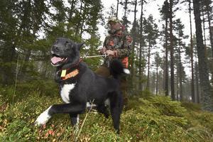 Länsstyrelsen meddelar att det bara är speciella jägare som är utsedda av Länsstyrelsen som får jaga varg. Foto: Mikael Fritzon / TT