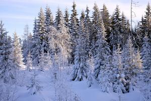 Vacker granskog med snötyngda grenar. Men frestas inte att hugga julgran utan markägarens tillstånd. Det räknas som stöld och kan resultera i böter för grantjuven.