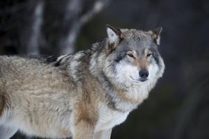 Det är många som skräms av vargen närvaro.