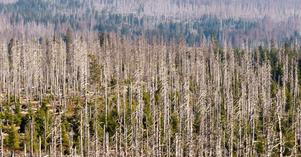 Jag bävar för nya angrepp av t ex barkborre, på grund av en sommar med torka och höga temperaturer, med större arealer förstörda skogar, skriver insändaren.