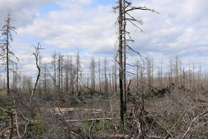Många av träden i naturreservatet står upp men är trots det döda.