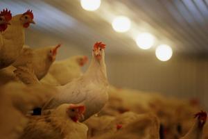 Efter två års planering kunde Dala Ägg och Borns gård på Grådö fördubbla sin produktion på krav-märkta ägg.