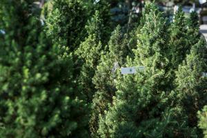 Sockertoppsgranen kan liva upp vinterträdgården.Foto: Vilhelm Stokstad/TT
