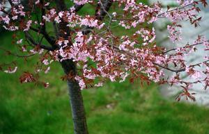 En boende på Gideonsberg saknar det blommande körsbärsträdet. Foto: Hasse Holmberg/TT