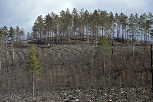 Öar av skog, som sparats efter en tidigare avverkning, där plantering av y skog ska göras om. Markvegetationen har försvunnit efter branden.