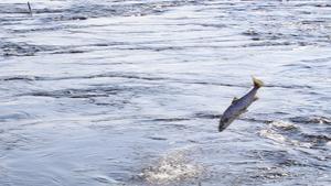 Efter krokning kan kampen bli lång. De nystigna laxarna är starka och kämpar för att få vara kvar i vattnet. Ofta genom att hoppa upp över vattenytan och försöka skaka loss kroken.