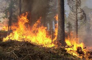 Om en tall utsätts för brand men överlever som ung bildar den tätare årsringar och utvecklar en kådrik ved. Det gör att den kan bli mycket äldre än dagens snabbväxande produktionsträd. Den klarar både eld, stormar  och angrepp av svamp eller insekter.