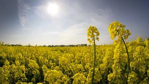 Centerpartiet vill att den bördiga jordbruksmarken bevars för matproduktion. På bilden ses ett rapsfält. FOTO: Michael Sohn/TT